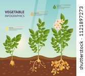 growth rate or stages of potato.... | Shutterstock .eps vector #1121897273
