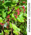 Wet Ripe Red Currant Berries...