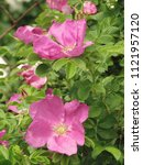 flowers of beach rose  rosa... | Shutterstock . vector #1121957120