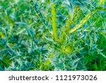 Carduus Nutans  Flower Carduus...