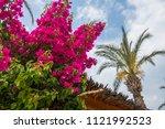 Blooming Bougainvillea Against...