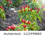 chilli peppers in a vegetable... | Shutterstock . vector #1121998883
