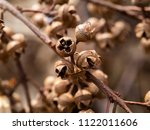 close up dry seeds of... | Shutterstock . vector #1122011606
