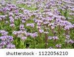 Small photo of Plantation of flowering phacelia. Blue phacelia or purple phacelia - honey plant