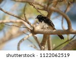 the willie  or willy  wagtail ... | Shutterstock . vector #1122062519