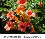 Trumpet Vine Or Creeper Or...