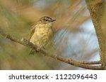 the yellow rumped thornbill ... | Shutterstock . vector #1122096443