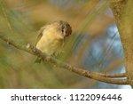 the yellow rumped thornbill ... | Shutterstock . vector #1122096446