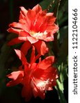 Small photo of Epiphyllum ackermannii better known as crenate orchid cactus