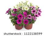 Colorful Blooming Petunia...