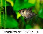 Black Tetra  Ternetzi  Fish ...