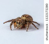 Small photo of Brown Yellow Salticidae Jumping Spider on Clear white background isolated subject in Thailand