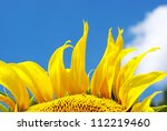 Sunflower Over Blue Sky In The...