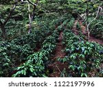 coffee plantation in guatemala  ... | Shutterstock . vector #1122197996