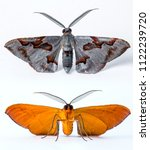 Small photo of Orange Grey Silver Moth Lepidoptera on a white isolated background in Thailand South East Asia micro macro close up detailed wildlife nature Etymology