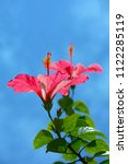 red hibiscus from asia | Shutterstock . vector #1122285119