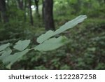 green leaves  close up. depths... | Shutterstock . vector #1122287258