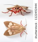 Small photo of Red Brown Grey Moth Lepidoptera on a white isolated background in Thailand South East Asia Front facing view and top down birdseye view two angles