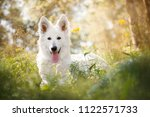 white swiss shepherd puppy ... | Shutterstock . vector #1122571733