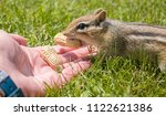 Feeding Peanuts To A Chipmunk