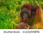 Strong And Big Male Orangutan ...