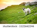 sheep marked with colorful dye... | Shutterstock . vector #1122662246
