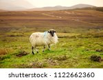 sheep marked with colorful dye...   Shutterstock . vector #1122662360