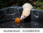 A White Domestic Ferret Plays...