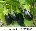 Eggplant Fruits Growing In The...