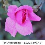 pink rose close up   Shutterstock . vector #1122759143
