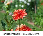 Red And Yellow Dahlia In The...