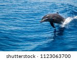 bottlenose dolphin  tursiops... | Shutterstock . vector #1123063700