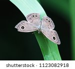 Small photo of Common Five Ring (Ypthima baldus) butterfly open wings on leaf