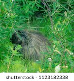 porcupine eating leaves | Shutterstock . vector #1123182338