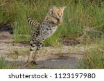 Serval leaping over stream