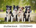Stock photo group of happy dogs border collies sitting on the grass in summer 112320443