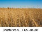 Dry Cane Ona Blue Sky Background