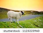 sheep marked with colorful dye... | Shutterstock . vector #1123223960