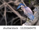 boat billed heron  cochlearius... | Shutterstock . vector #1123260470