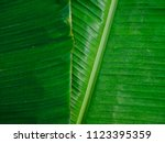 Tropical Banana Gree Leaf
