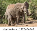 elephant cow with calf kruger... | Shutterstock . vector #1123406543