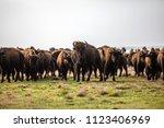 Herd Of Buffalo In The Flint...