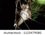 The Common Ringtail Possum ...