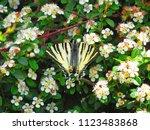 Scarce Swallowtail Butterfly ...
