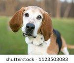 an english foxhound dog...   Shutterstock . vector #1123503083