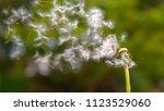 close up  dof  fluffy white... | Shutterstock . vector #1123529060