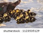 large flock of baby muscovy... | Shutterstock . vector #1123535129