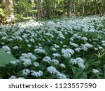 the valley of the garlic forest ...   Shutterstock . vector #1123557590