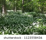 the valley of the garlic forest ...   Shutterstock . vector #1123558436