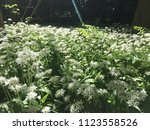 the valley of the garlic forest ...   Shutterstock . vector #1123558526